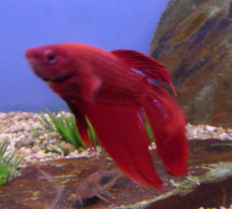Male Siamese Fighting Fish Red Sweet Knowle Aquatics