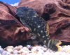 Spotted Orange-Seam Pleco L106 (6-8cm)