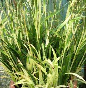 Carex Pendula Moonraker Sweet Knowle Aquatics Online Shop
