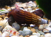 Sulawesi Spotted-Face Unicorn Snail