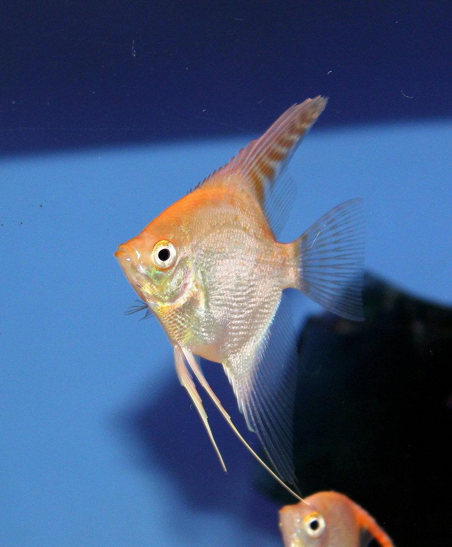 Gold Diamond Angelfish 7 9cm Sweet Knowle Aquatics
