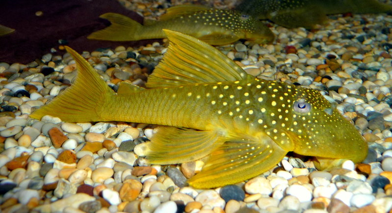 green phantom pleco l200 68cm sweet knowle aquatics