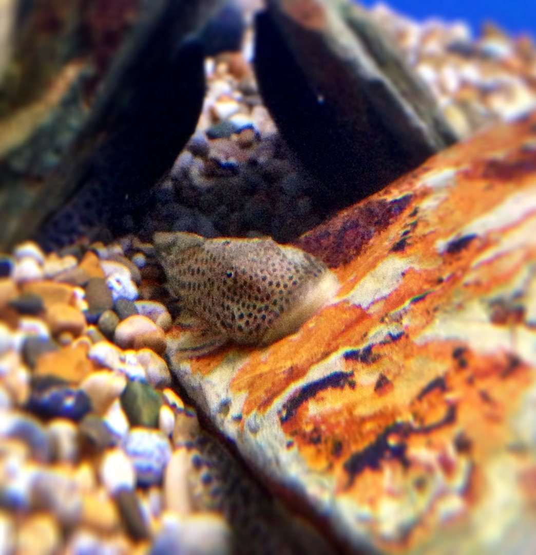 Spotted bulldog pleco l187a 5 7cm sweet knowle for Pleco fish food