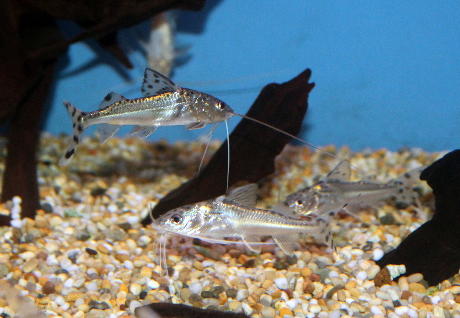 Pictus Catfish Sweet Knowle Aquatics Online Shop