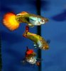 Flame Guppy