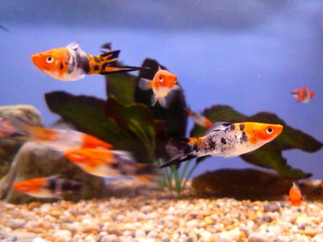 Image gallery showa swordtail for Le koi for sale