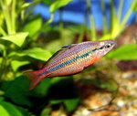 Goyder River Rainbowfish