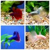 Male Siamese Fighting Fish - Deluxe Assortment £9.95 each
