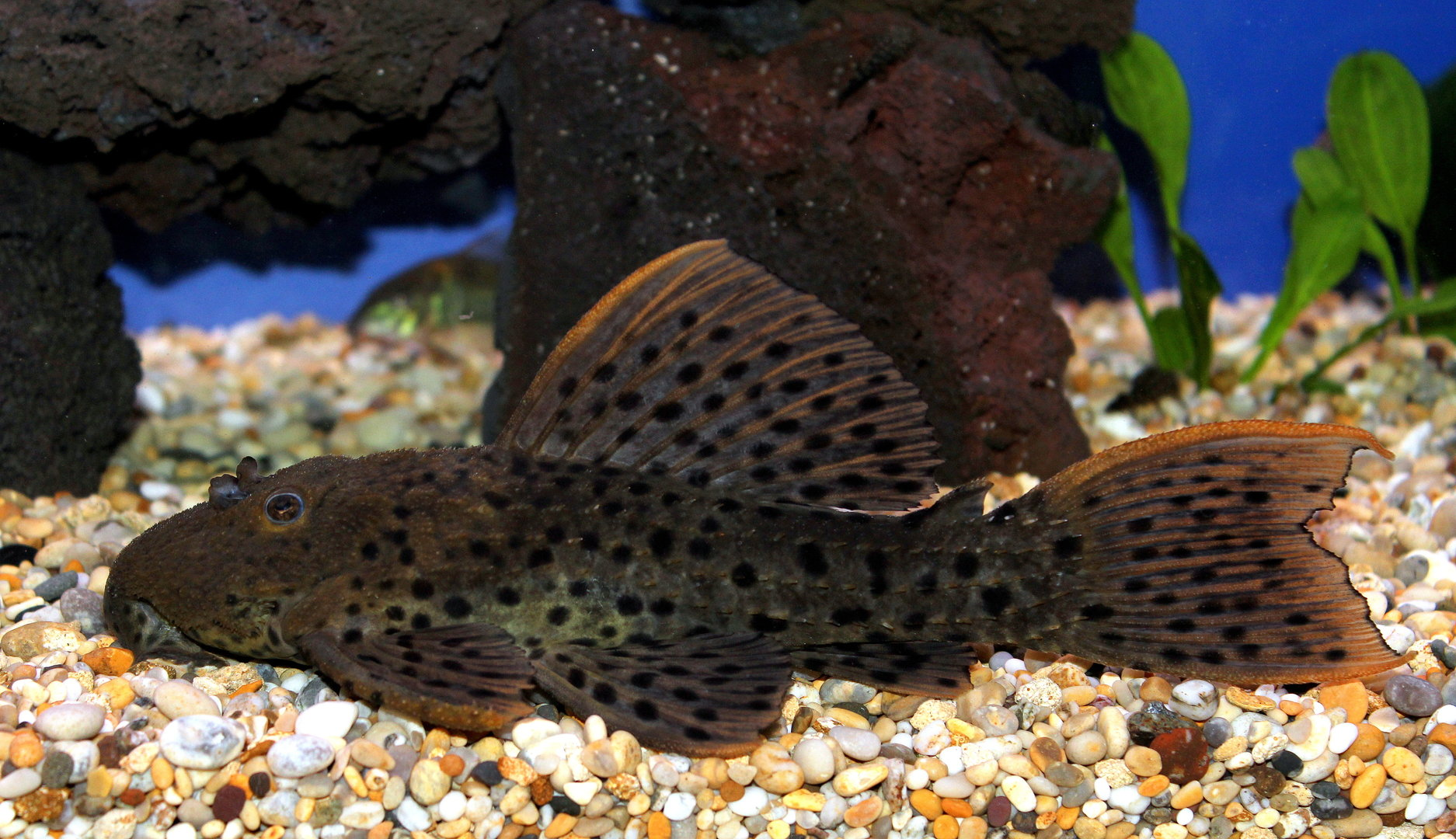 Spiny monster pleco l096 l160 18 20cm sweet knowle for Pleco fish food