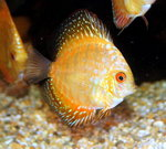 Golden Pigeon Blood Discus (5-7cm)