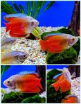 Neon Red Dwarf Gourami (Pair)