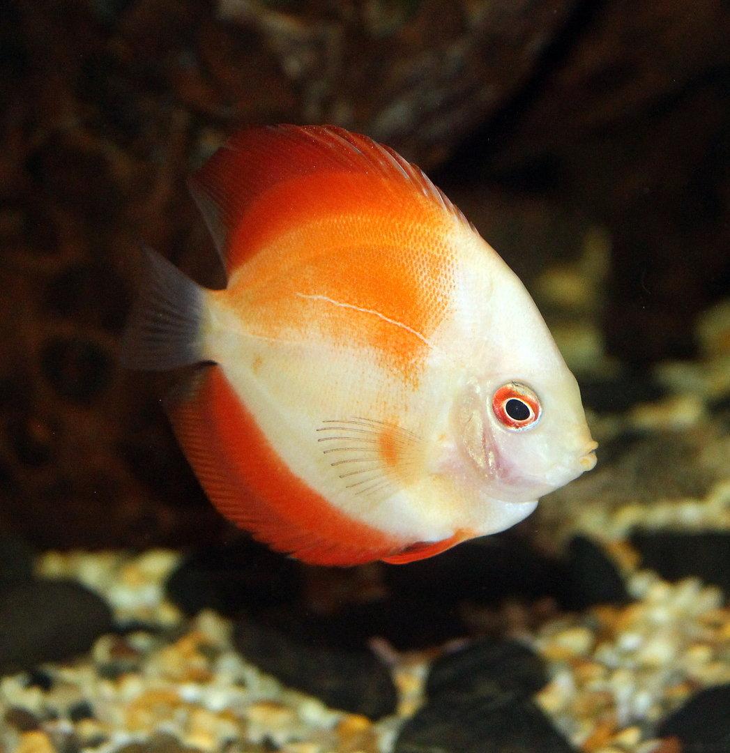 Marlboro Red Discus 5 7cm Sweet Knowle Aquatics Online