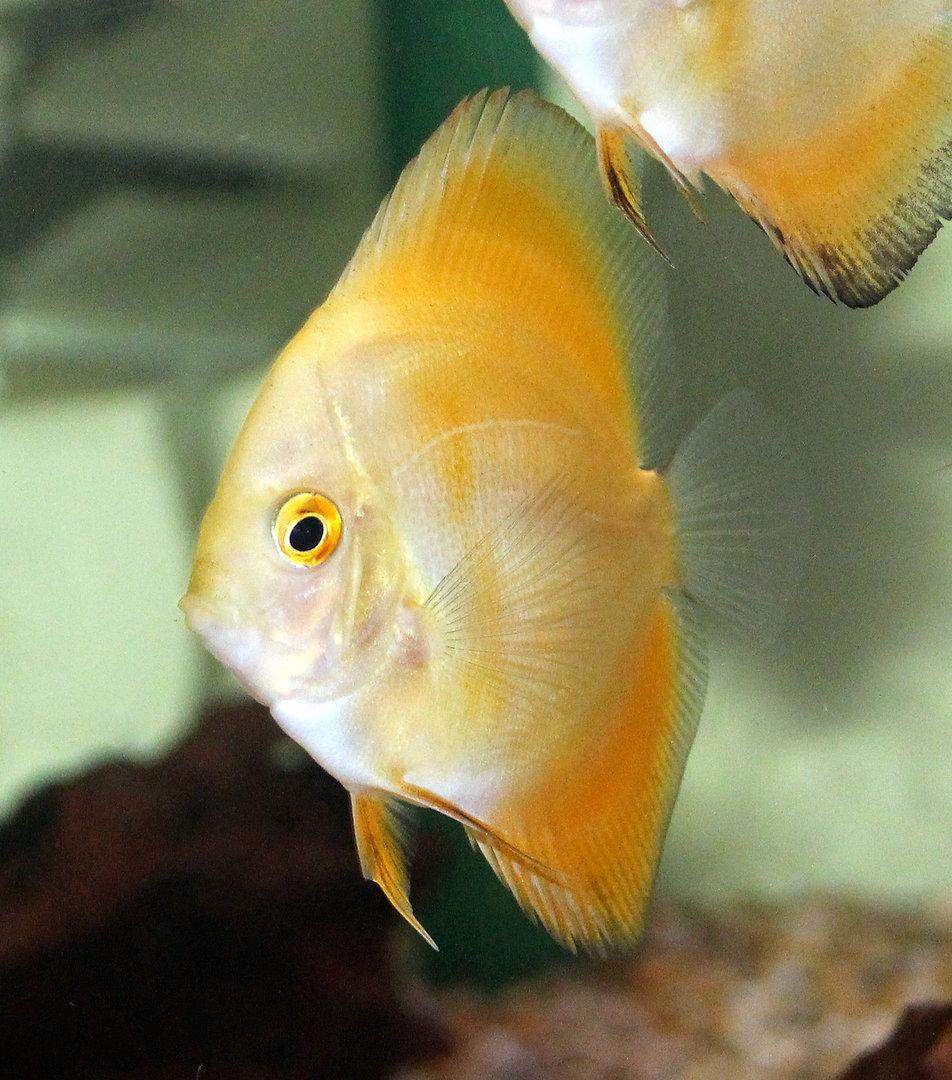 Marlboro Yellow Discus 5 7cm Sweet Knowle Aquatics