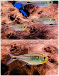 Red-Stripe Tetra